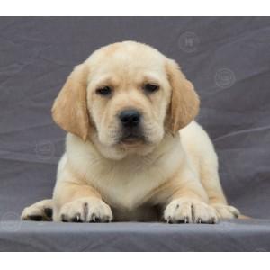 直销纯种 拉布拉多犬拉布拉多幼犬导盲犬神犬小七活体宠物狗狗