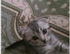 家中折耳猫咪求收留呢