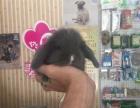 批发各种垂耳兔,猫猫兔,侏儒兔
