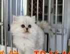 长期出售繁育级名猫 金吉拉 英短 美短 加菲