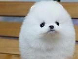 北京博美犬出售 博美多少钱 哈多利球体博美 白色博美