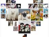 北京石景山出售纯种西伯利亚雪撬犬宠物狗狗幼犬