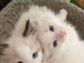 双C血统 五代证书 绿纸齐全 精品布偶猫
