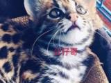 纯种孟加拉豹猫头版大身体高挑颜色黑白分明花纹帅气