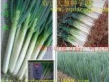 日本大葱种子新品种井冈一本 井冈晚抽冬越铁杆大葱钢葱种子