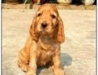 东莞出售可卡可卡泰迪哈士奇萨摩耶秋田德牧阿拉斯加等各种名犬