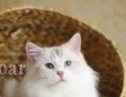 家养布偶双色山猫手套十几只布偶猫成母也卖