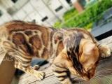金色孟加拉豹猫种公 TIGER