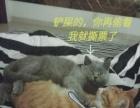 英國短毛貓藍貓