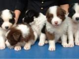 500起出售纯种边牧幼犬七白三通双血统 基地繁殖包健康有公母