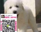 苏州大白熊幼犬出售 苏州大白熊交易吧 苏州大白熊中型犬价钱