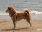 高品质柴犬纯血统日系 日本引进 保证纯血统 健康