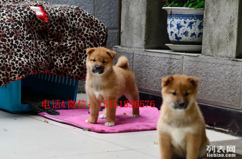 兰州哪里卖纯种柴犬 兰州柴犬的价格是多少 兰州日系柴犬