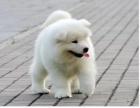 北京出售 纯种萨摩耶幼犬 疫苗齐全出售中 可签协议健康保障