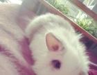 宠物侏儒小灰白兔子