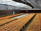 农博金草白芨种植加盟