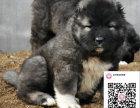 哪里有卖高加索犬 出售纯种高加索犬犬舍在哪里