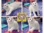 无锡布偶猫出售,无锡哪里有卖布偶猫,纯种布偶猫价格