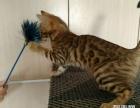 家养豹猫DDMM出售
