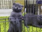 蓝猫折耳一窝转让 公母可上门挑选 非诚勿扰