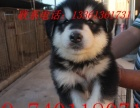 烟台基地出售阿拉斯加幼犬,实物照