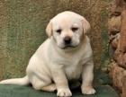 冠军后代双血统拉布拉多一窝 证书可查可以看狗父母