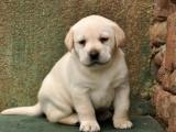 哪里有卖纯种拉布拉多犬出售 疫苗驱虫按时做好可签协议