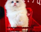 精品家庭繁育式布偶猫舍出售靠谱纯种布偶猫猫加菲
