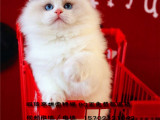 CFA 猫舍 出售纯种布偶猫双色海豹色甜美可爱M