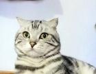 宠物猫,美短,美国短毛猫