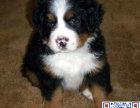 伯恩犬一只多少钱 哪里有卖伯恩山的 哪里可以买到伯恩山