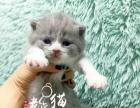 老虎猫~西安本地CFA注册猫舍~出售英国短毛猫幼猫