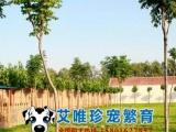 CKU认证犬舍出售 法国斗牛犬 中小型短毛犬 无体臭憨萌可爱