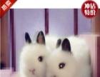 侏儒宠物兔垂耳兔