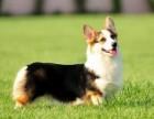 出售纯种柯基犬 柯基幼犬 品质好 质量保证