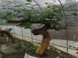 合纵园林优质,有什么好的大紫藤批发张家批发价格出售