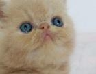 灵动猫舍出售纯种猫 加菲猫 美国短毛猫 英国短毛猫