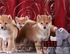 赛级日系柴犬 带健康证签合同 自家繁殖 可见父母