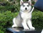 深圳哪里有好的犬舍 深圳哪里有好的哈士奇出售 深圳扬帆犬舍