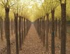 商洛30公分法桐树 批发价格多少