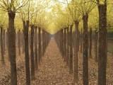 遵义25公分法桐树基地规格尺寸全