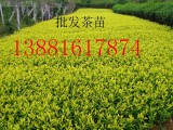 四川出售茶苗价格优惠,批发黄金芽茶苗,老鹰茶苗