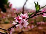 2020年桃花節開始時間 2020年桃花節地址在哪