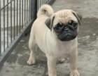 海口纯种巴哥价格,海口哪里能买到纯种巴哥犬