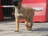 哪里有马犬出售 纯种马犬多少钱