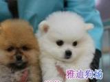购买签协议出售球体博美包健康纯种送狗狗用品
