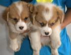 上门看狗 价格可便宜 出售纯种柯基犬 终身保障 完美售后