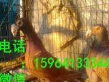 新疆一对元宝鸽种鸽多少钱一对公斤元宝鸽价格哪里有卖
