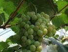 唐家房镇果子园村那些年葡萄采摘园