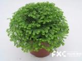 成都武侯区盆栽植物租摆公司教你红豆杉的养殖方法和注意事项